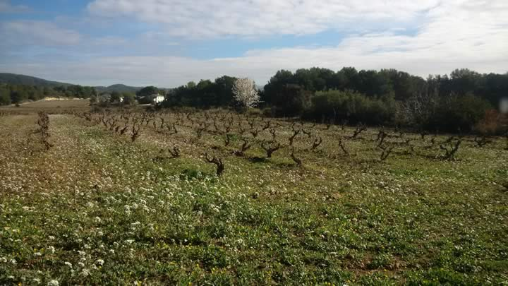 Organic viticulture-vegetable covering-february